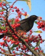 Wakehurst blackbird 2